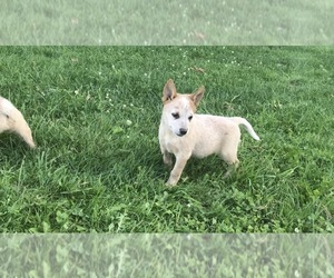 Australian Cattle Dog Puppy for Sale in RANDOLPH, Vermont USA
