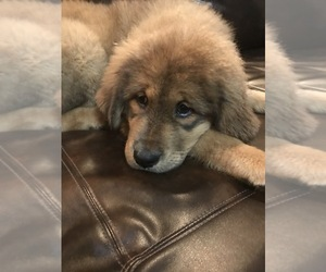 Tibetan Mastiff Puppy for Sale in LANCASTER, South Carolina USA