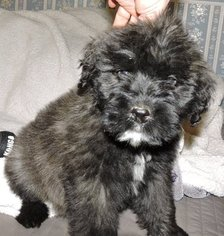 Bouvier Des Flandres Puppy For Sale in AMBOY, WA
