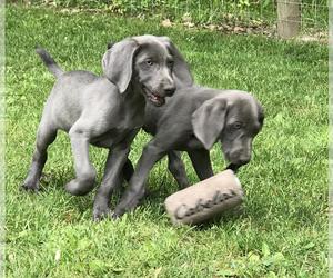 Weimaraner Puppy for sale in HEMLOCK, MI, USA