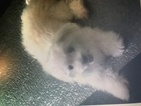 Maltese Puppy For Sale in OXFORD, NC, USA