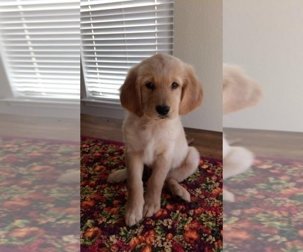 View Ad: Golden Retriever Puppy for Sale near In Denmark