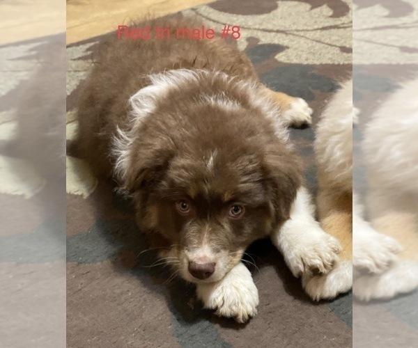 Medium Photo #1 Australian Shepherd Puppy For Sale in ADA, OH, USA