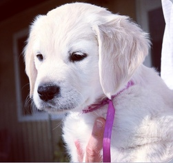 Golden Retriever Puppy For Sale in TROY, AL, USA