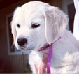 Golden Retriever Puppy For Sale in TROY, AL,