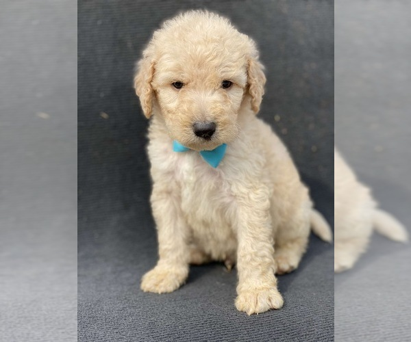 Medium Photo #2 Goldendoodle-Poodle (Standard) Mix Puppy For Sale in HANFORD, CA, USA