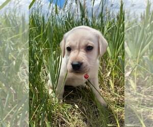 Labrador Retriever Dog for Adoption in DOUGLAS, Wyoming USA