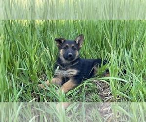 German Shepherd Dog Puppy for sale in WESTCLIFFE, CO, USA