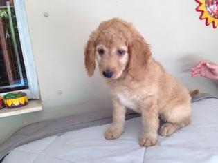 Goldendoodle Puppy For Sale in MIAMI, FL