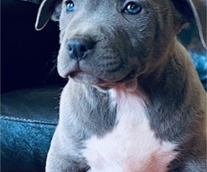 American Bully Puppy for sale in POPLAR BLUFF, MO, USA