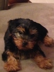 Yorkshire Terrier Puppy for sale in PONTE VEDRA, FL, USA