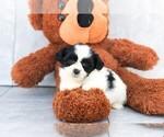 Ellen The Teddy Bear Puppy
