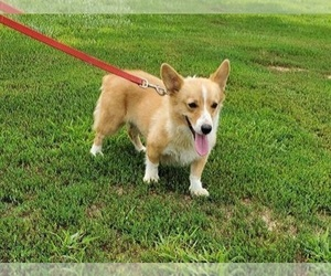 Mother of the Pembroke Welsh Corgi puppies born on 08/07/2020