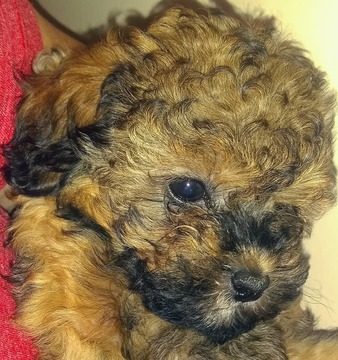 View Ad: Poodle (Miniature)-Yorkie-Poo Mix Puppy for Sale Florida USA