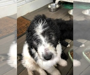 Cadoodle Puppy for sale in FRED, VA, USA