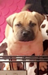 Bullmastiff Puppy For Sale in GUTHRIE, OK, USA