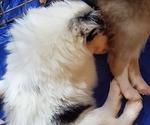 Puppy 1 Collie