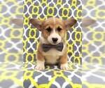 Welsh Corgi Puppy ACA