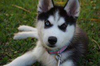 Siberian Husky Puppy for sale in POMPANO BEACH, FL, USA