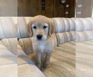 Golden Retriever Puppy for sale in LAWRENCE, KS, USA
