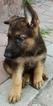 German Shepherd Dog Puppy For Sale in YORKTOWN, VA, USA
