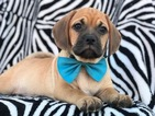 Puggle Puppy For Sale in QUARRYVILLE, PA, USA