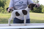 German Shorthaired Pointer Puppy For Sale in EVART, MI, USA