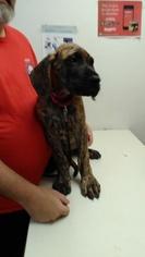 Great Dane Puppy For Sale in SHAWNEE, OK, USA