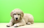 Goldendoodle Puppy For Sale in PORTSMOUTH, OH