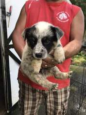 Australian Cattle Dog Puppy For Sale in ENFIELD, NC, USA