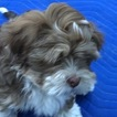 Lhasa Apso Puppy For Sale in SALEM, MA, USA