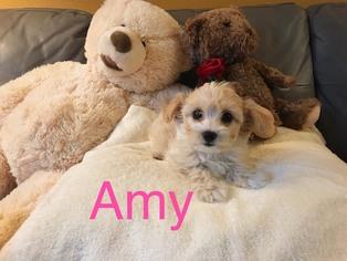 Maltipoo Amy Female ...