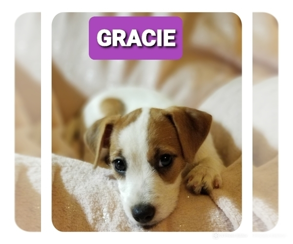 Medium Photo #1 Jack Russell Terrier Puppy For Sale in MANSFIELD, TX, USA