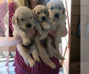 Golden Retriever Puppy for Sale in TRIVOLI, Illinois USA