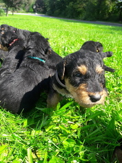 Airedale Terrier Puppy For Sale in HONEY BROOK, PA, USA