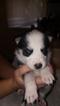 Siberian Husky Puppy For Sale in NILES, MI, USA
