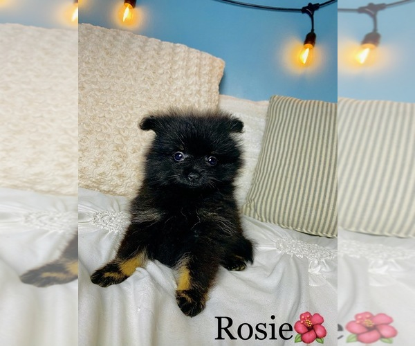 Medium Photo #12 Chihuahua Puppy For Sale in COOKEVILLE, TN, USA