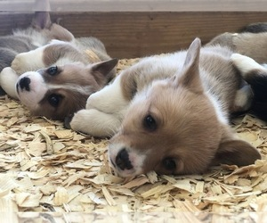 Pembroke Welsh Corgi Puppy for Sale in OMAHA, Arkansas USA