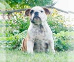 Puppy 11 English Bulldog