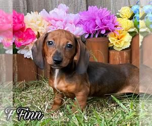 Dachshund Dog for Adoption in MIAMI, Florida USA