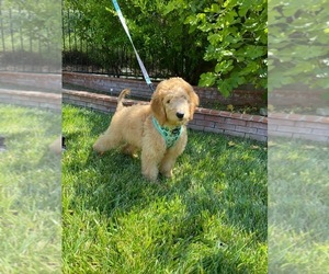 Goldendoodle Puppy for sale in NORTHRIDGE, CA, USA