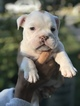 English Bulldog Puppy For Sale in NEW ORLEANS, LA, USA