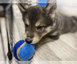 German Shepherd Dog-Siberian Husky Mix Puppy for sale in MONCLOVA, OH, USA