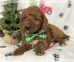 Small #6 Goldendoodle-Poodle (Miniature) Mix