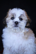 Shih-Poo Dog For Adoption in San Pedro, CA