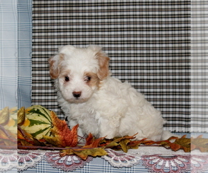 Maltese-Poodle (Toy) Mix Puppy for sale in CHRISTIANA, PA, USA