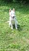 Siberian Husky Puppy For Sale in GREENWOOD, IN, USA