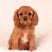 Cavalier King Charles Spaniel Puppy For Sale in GAP, Pennsylvania,