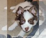 Puppy 5 Pomsky