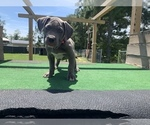 Small #3 American Bully Mikelands